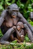 Mutter und CUB von Bonobo im natürlichen Lebensraum Schließen Sie herauf Portrait Grüner natürlicher Hintergrund Das Bonobo-Pan-p Stockfoto