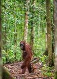 Mutter und CUB von Bornean-Orang-Utan in einem natürlichen Lebensraum Lizenzfreies Stockfoto