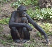 Mutter und CUB von Schimpanse Bonobo Bonobofrau mit einem Jungen Der Bonobo (Pan-paniscus) Lizenzfreie Stockfotografie