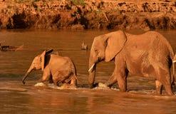 Mutter- und des Kalbsafrikanische Elefanten, die Fluss kreuzen Lizenzfreie Stockbilder
