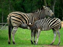 Mutter und ein Schätzchen Zebra Stockfotos