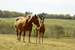 Mutter und Fohlen stockbilder