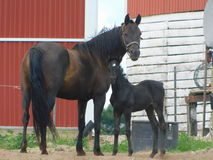 Mutter und Fohlen Stockfotografie
