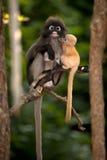 Mutter und ihre Babyaffen sind boshaft (Presbytis-obscura Reid). Stockfoto