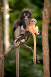 Mutter und ihre Babyaffen sind boshaft (Presbytis-obscura Reid). Stockfotografie