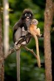 Mutter und ihre Babyaffen sind boshaft (Presbytis-obscura Reid). Lizenzfreie Stockfotografie
