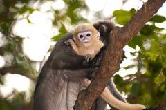 Mutter und ihre Babyaffen sind boshaft (Presbytis-obscura Reid). Lizenzfreie Stockfotos