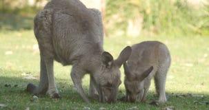 Mutter und Joey Kangaroo Wallaby Marsupial Animal Australien stock video footage