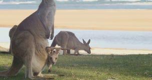 Mutter und Joey Kangaroo Wallaby Marsupial Animal Australien stock footage