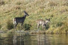 Mutter und junge Rotwild durch Ufer Lizenzfreie Stockbilder
