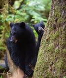Mutter und Junges des schwarzen Bären Lizenzfreie Stockfotos