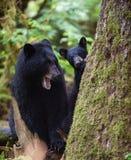Mutter und Junges des schwarzen Bären Stockfotos