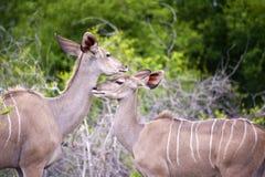 Mutter und junges Kudu Stockbilder