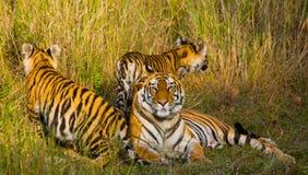 Mutter-und Junges wilder Bengal-Tiger im Gras Indien BANDHAVGARH NATIONALPARK Madhya Pradesh Lizenzfreies Stockfoto