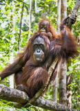 Mutter- und Jungsorang-utan (Pongo pygmaeus) Der Abschluss herauf Porträt Stockfoto