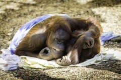 Mutter und Kind Bornean Orangutam, die streicheln Stockfotografie