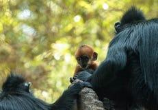 Mutter und Kind Francois Langur albern Familie Trachypithecus Franc herum Stockfoto