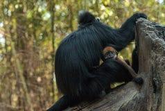 Mutter und Kind Francois Langur albern Familie Trachypithecus Franc herum Stockfotos