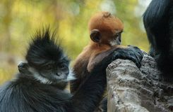 Mutter und Kind Francois Langur albern Familie Trachypithecus Franc herum Lizenzfreie Stockfotografie