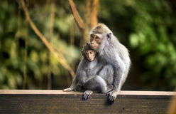 Mutter-und Kinderaffe Lizenzfreies Stockfoto