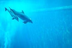 Mutter- und Kinderdelphinschwimmen in einem Aquariumpool Stockfotos