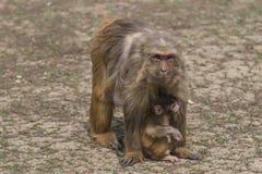 Mutter und kleine Makakenmakaken Lizenzfreies Stockfoto