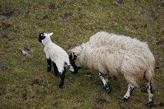Mutter und Lamm Lizenzfreies Stockfoto