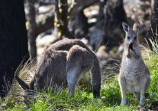 Mutter und neugieriger Baby Känguru, Tenterfield, New South Wales, Australien Lizenzfreies Stockbild
