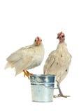 Mutter und Schätzchen - Huhnfamilie Lizenzfreie Stockbilder