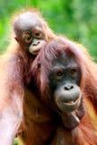 Mutter und Schätzchen Orang utan Stockbild