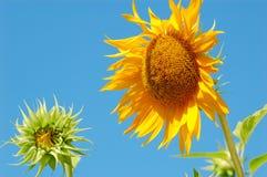Mutter-und Schätzchen-Sonnenblume Stockfotos