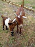 Mutter-und Schätzchen-Ziege Lizenzfreies Stockbild