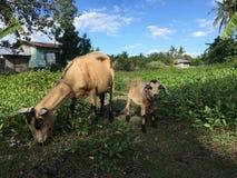 Mutter-und Schätzchen-Ziege Stockbilder