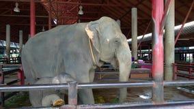 Mutter- und Schätzchenelefanten stock video footage