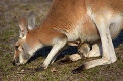 Mutter- und Schätzchenkänguruh stockfoto