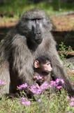 Mutter- und Schätzchenpavian Stockfoto