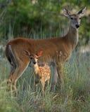 Mutter- und Schätzchenrotwild Lizenzfreie Stockbilder