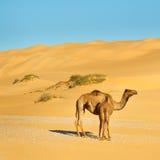 Mutter-und Schätzchen-Kamel Lizenzfreie Stockfotos