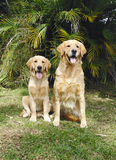 Mutter und Tochter des goldenen Apportierhunds Stockfotos