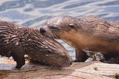 Mutter-und Welpen-Fluss-Otter Lizenzfreie Stockbilder