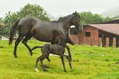 Mutter und zweitägige alte Pferde, die in Feld laufen Lizenzfreie Stockbilder