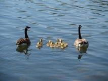 Mutter-Vater mit Baby-Gänsen Stockfotografie