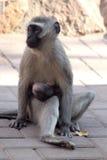 Mutter Vervet-Affe mit Baby Lizenzfreies Stockfoto