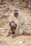 Mutter Vervet-Affe mit einem Baby Lizenzfreies Stockbild