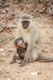 Mutter Vervet-Affe mit einem Baby Stockfoto