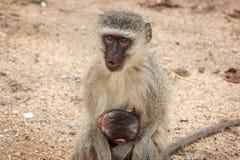 Mutter Vervet-Affe mit einem Baby Lizenzfreies Stockfoto