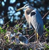 Mutter-Vogel mit Nachkommenschaft Lizenzfreie Stockbilder