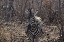 Mutter Zebra Waiting für Geburt des Babys Lizenzfreie Stockfotografie