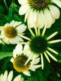 Mutter Zing-Nahaufnahmeblumen stockfotos
