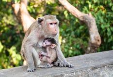 Mutteraffe, der ihr Baby einzieht, Stockbild